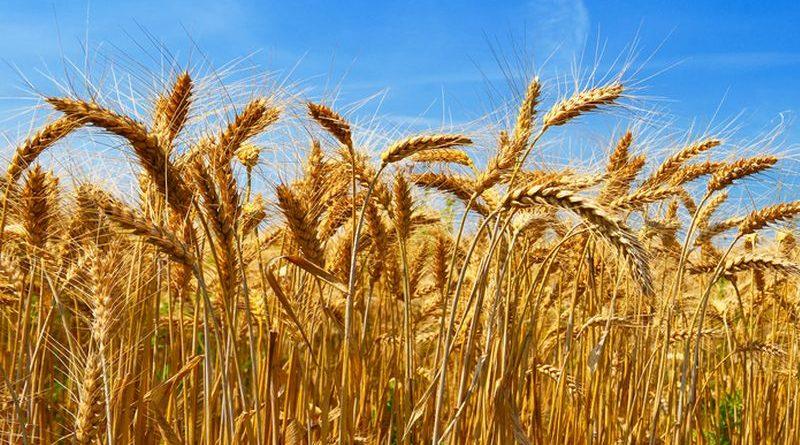 Жнива-2018: зібрано перший мільйон зерна нового врожаю