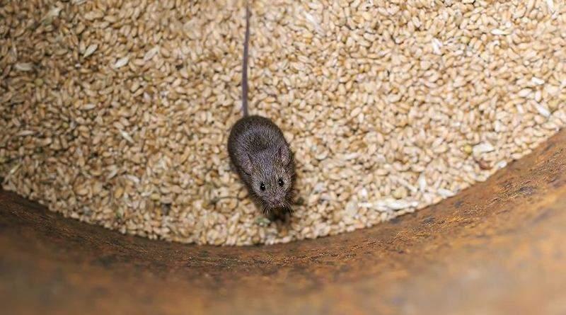 Економіку країни вбивають... миші!